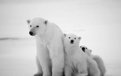 Make a difference for the Polar Bears!