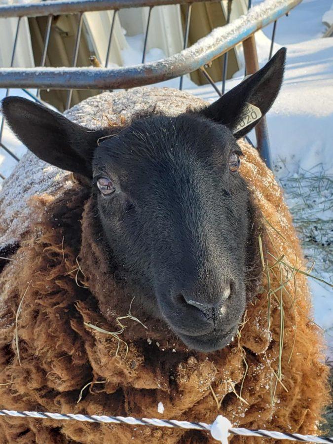 Helen the sheep