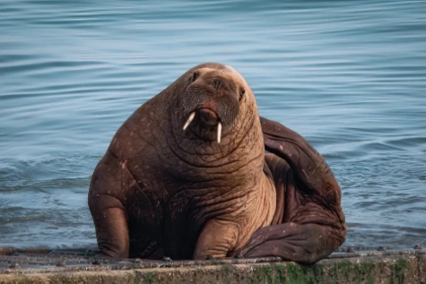 Wally: The Delinquent Welsh Walrus
